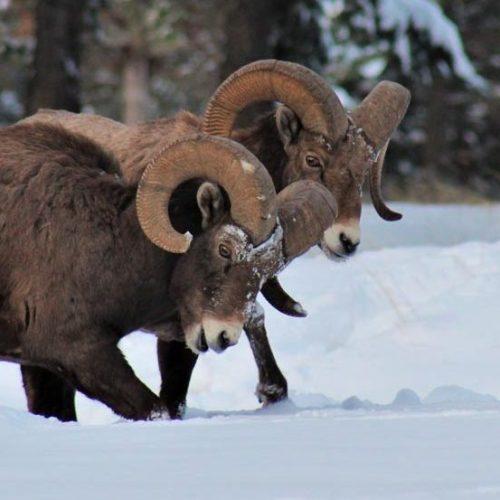 02-Feb.-Rams-on-a-Winter-Walk-by-Lauren-Logan