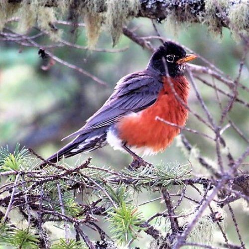 03 March. Red Breasted Robin by John Pona