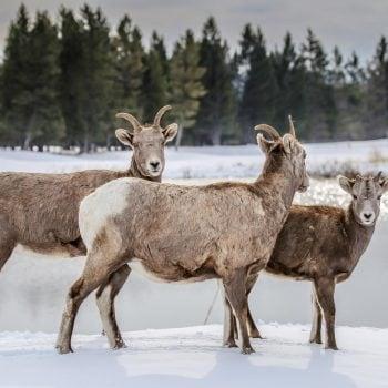 12.-Bighorn-Sheep-by-Kristin-McCauley