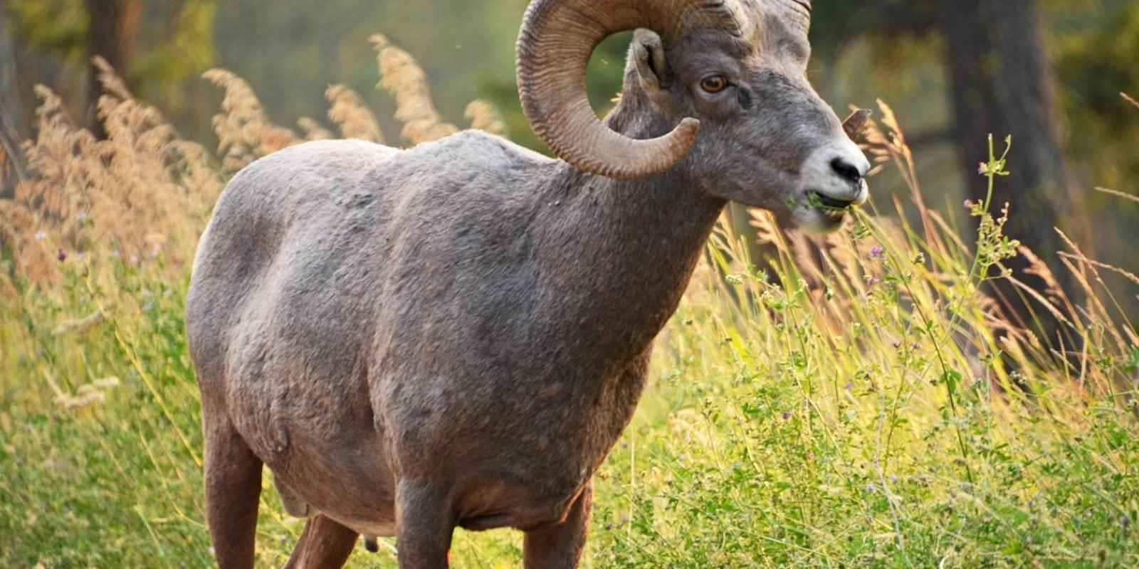 Bighorn-eating-grass-M.-Oliver