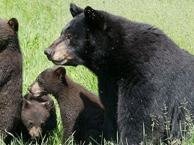 Bear Activity
